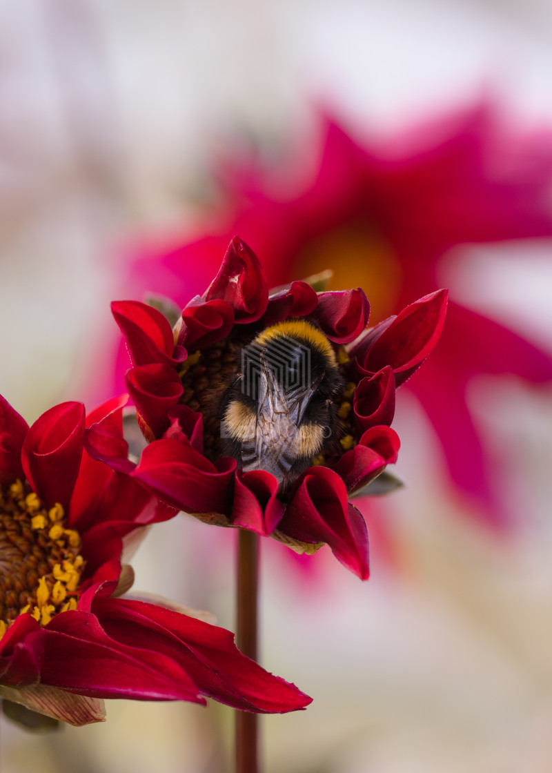 """""""Snug as a Bee in a Bloom"""" stock image"""