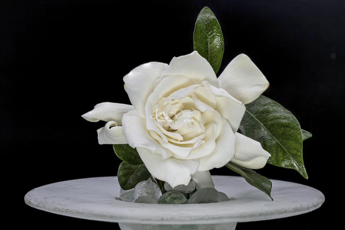 """""""Flower Portrait: Gardenia"""" stock image"""