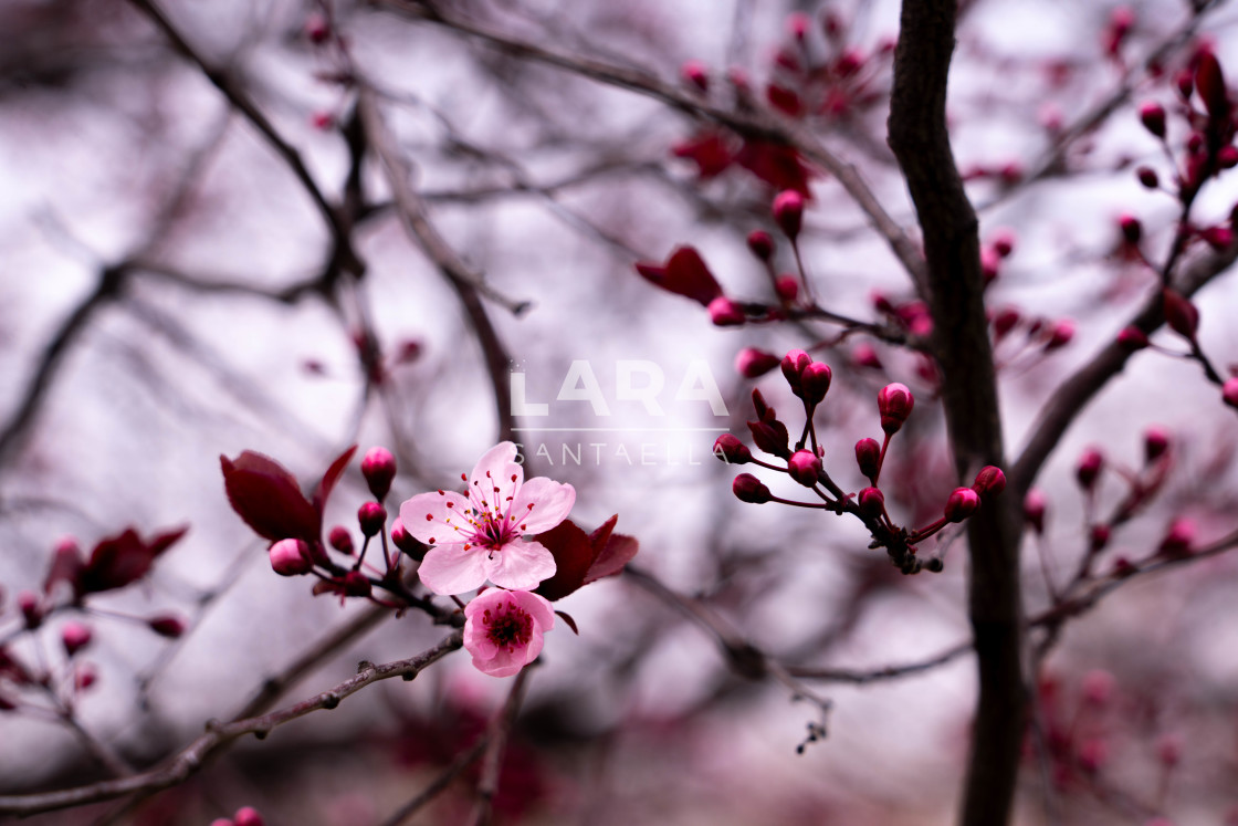 """Flowering blossoms"" stock image"