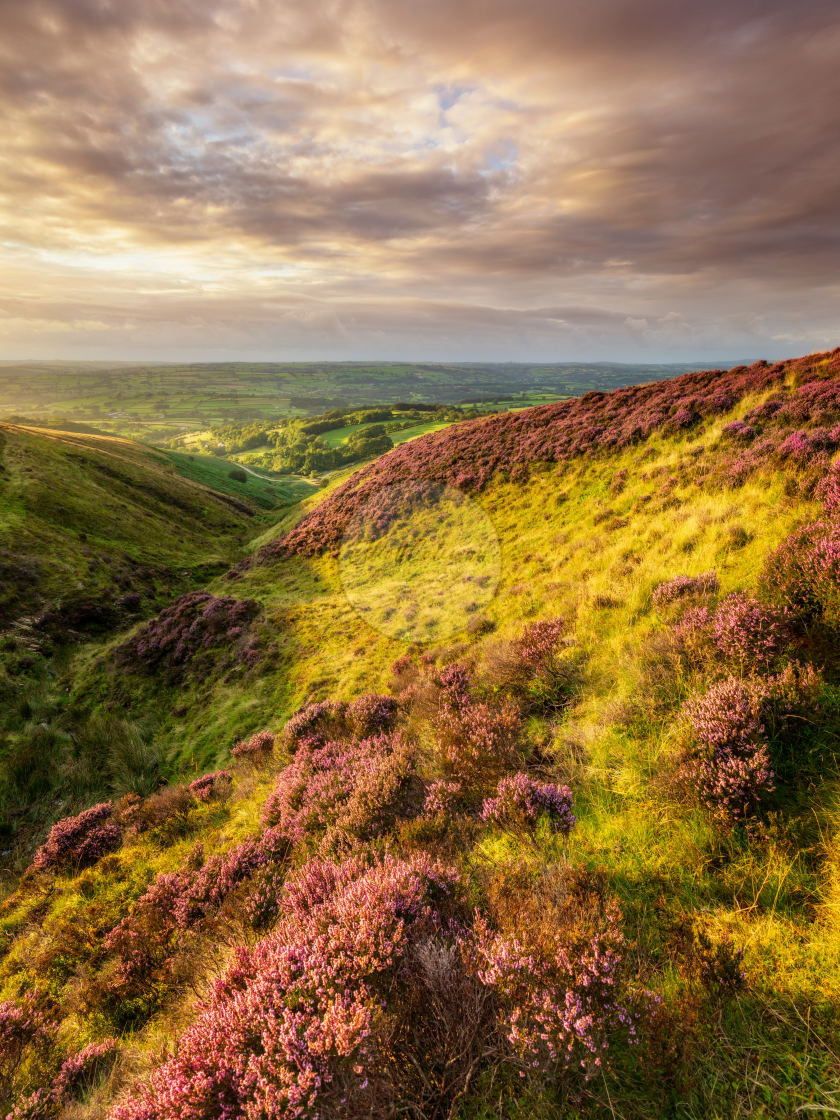 """Purple Heather on Llanllwni Mountain"" stock image"