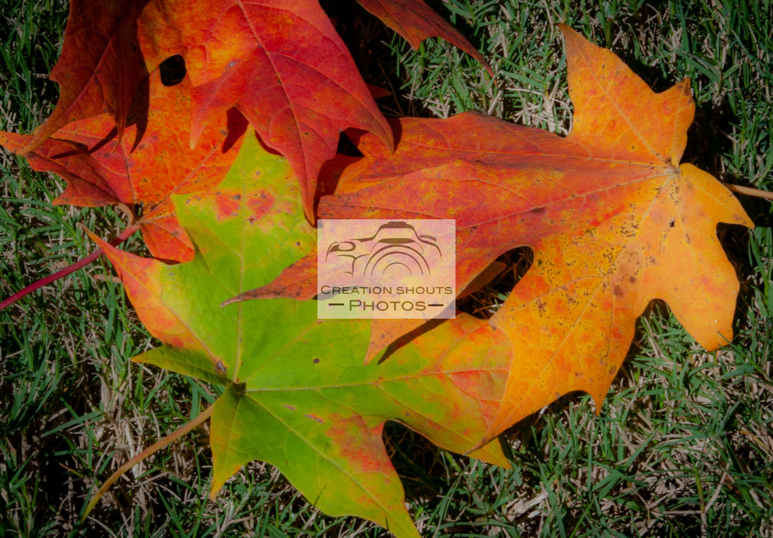 """A Trio Beautiful Fall Leaves in Full Color"" stock image"