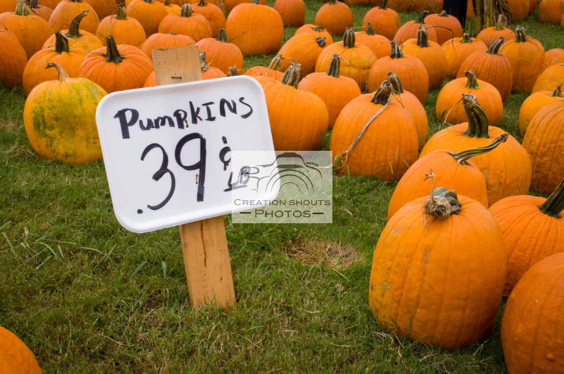 """Bright Orange Pumpkins in the Pumpkin Patch in Fall"" stock image"
