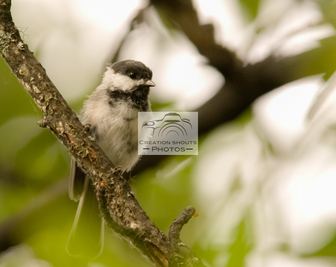 """Carolina Chickadee (Poecile carolinensis) Perched on a Limb in Alaska"" stock image"