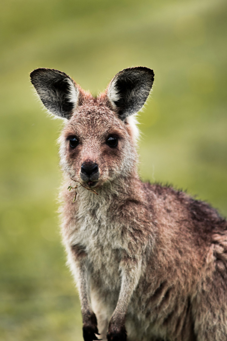 """Kangaroo Way 0260"" stock image"
