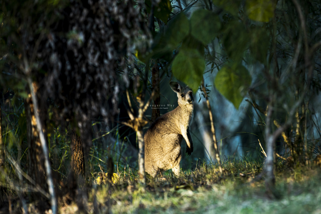 """Kangaroo Way 0262"" stock image"
