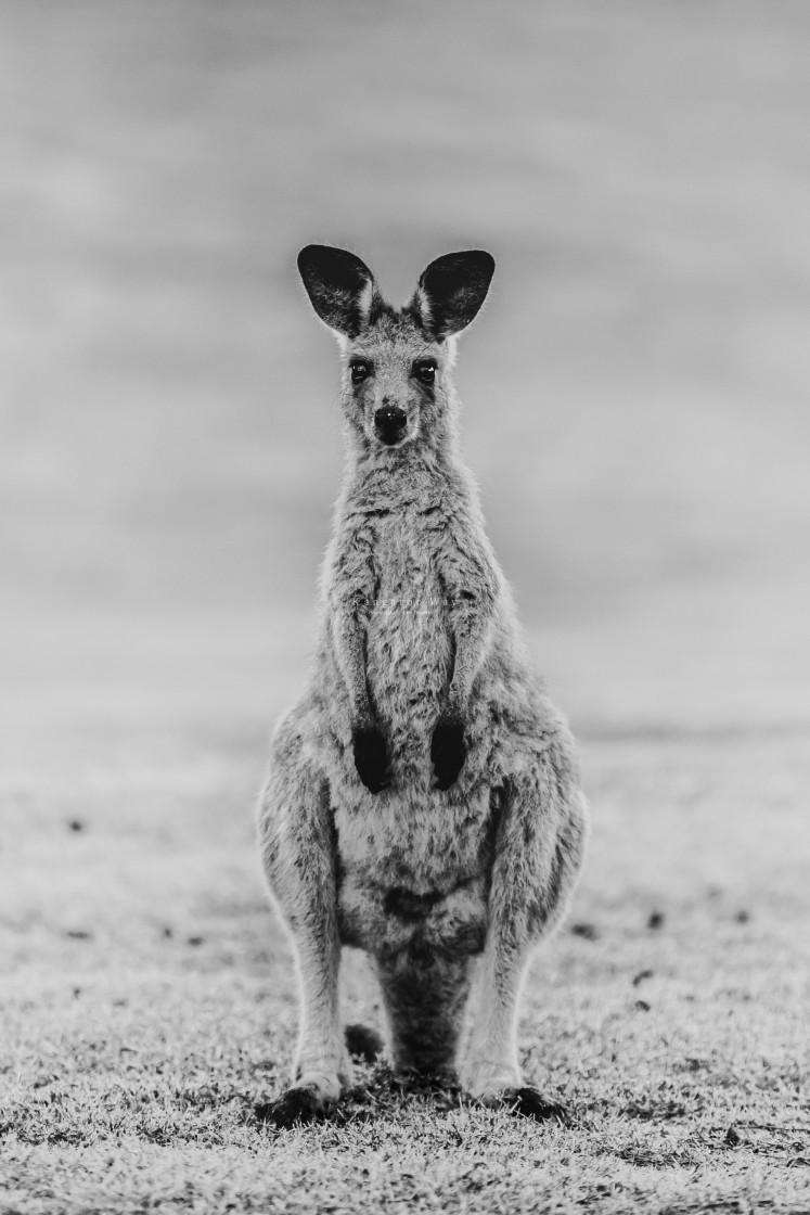 """Kangaroo Way 02663"" stock image"