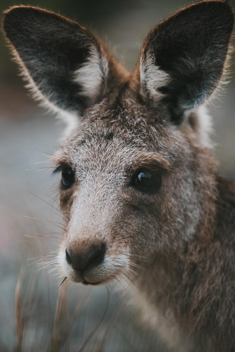 """Kangaroo Way 0265"" stock image"