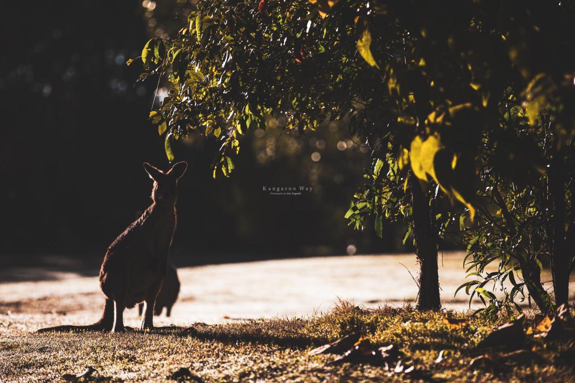 """Kangaroo Way 0271"" stock image"