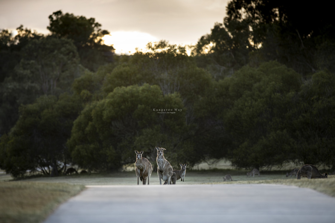 """Kangaroo Way 0275"" stock image"