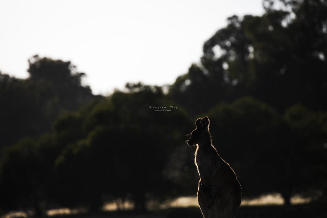 """Kangaroo Way 0276"" stock image"