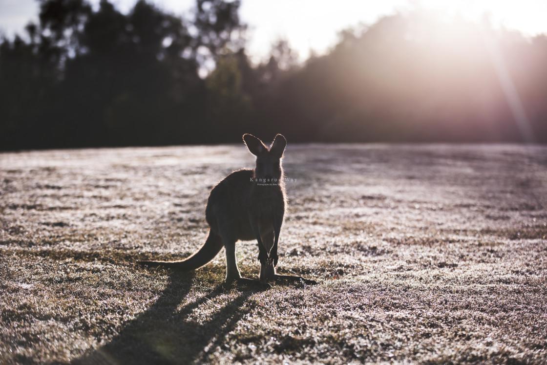 """Kangaroo Way 0280"" stock image"