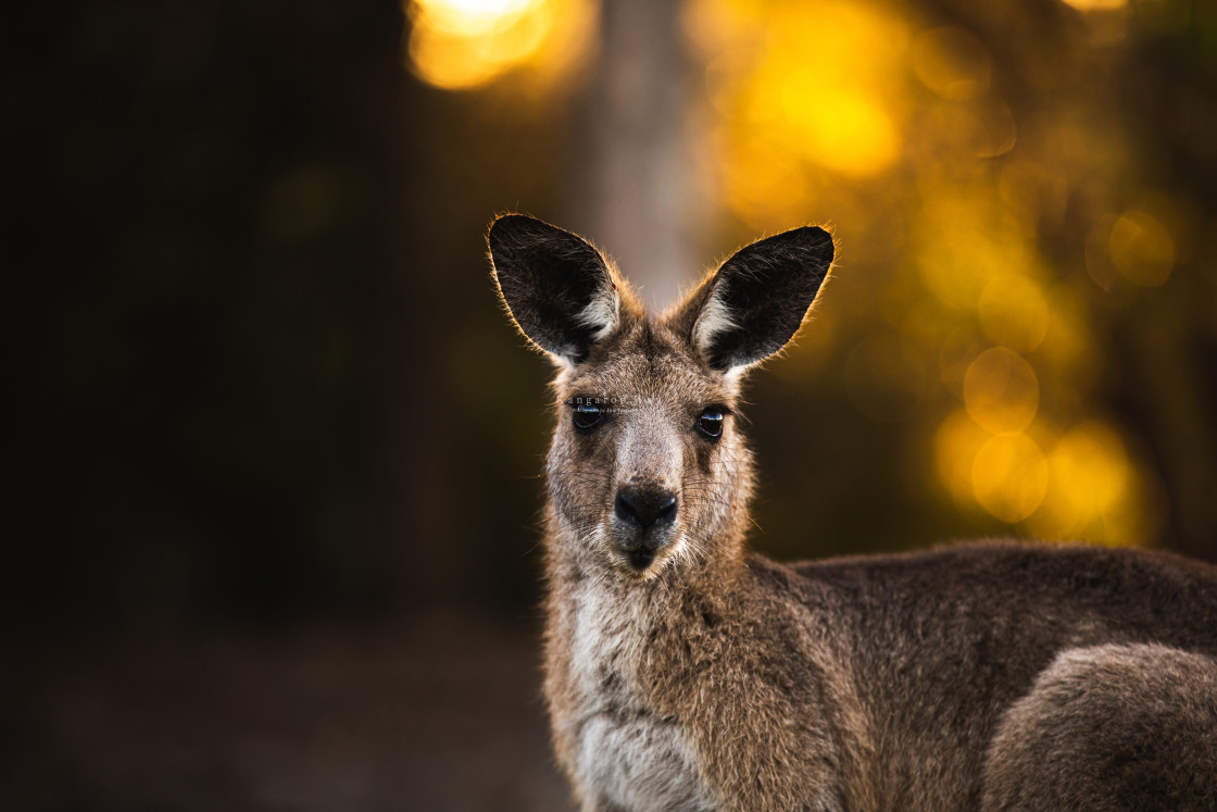 """Kangaroo Way 0294"" stock image"