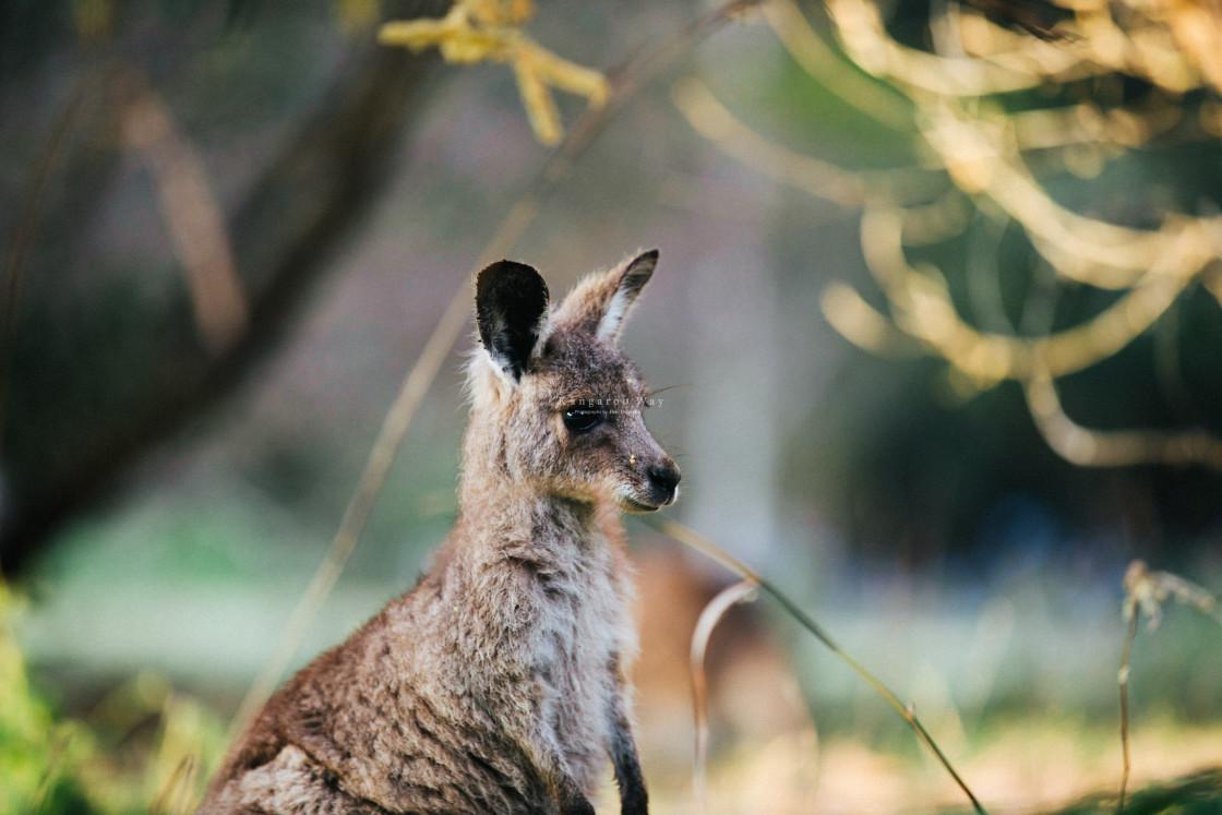 """Kangaroo Way 0297"" stock image"