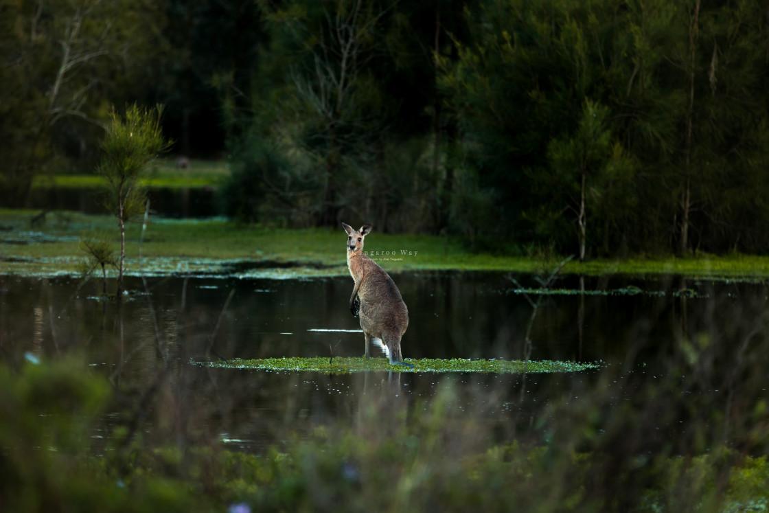 """Kangaroo Way 0299"" stock image"