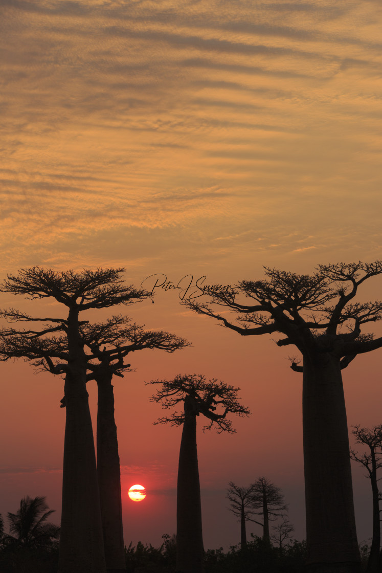 """1069 - Madagascar: Baobab Lane at sunset - 1"" stock image"