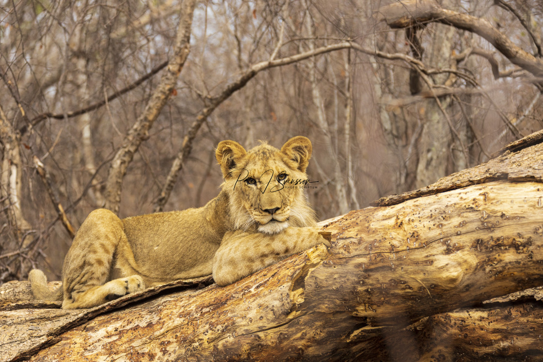 """2221 - a young lion in Zimbabwe"" stock image"