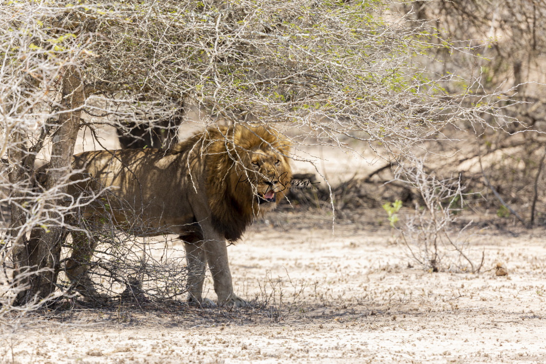 """0459 - South Africa: lion in hot sand (2)"" stock image"