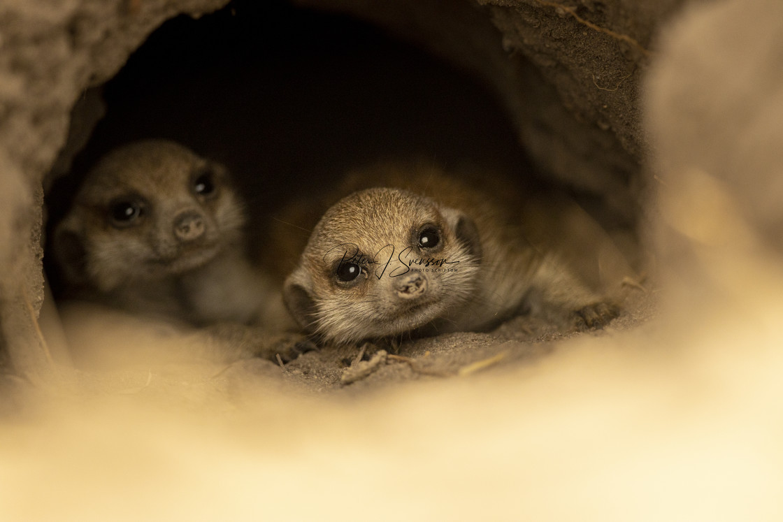 """1243 - Botswana (Makgadikgadi Pans National Park): meerkat young siblings"" stock image"
