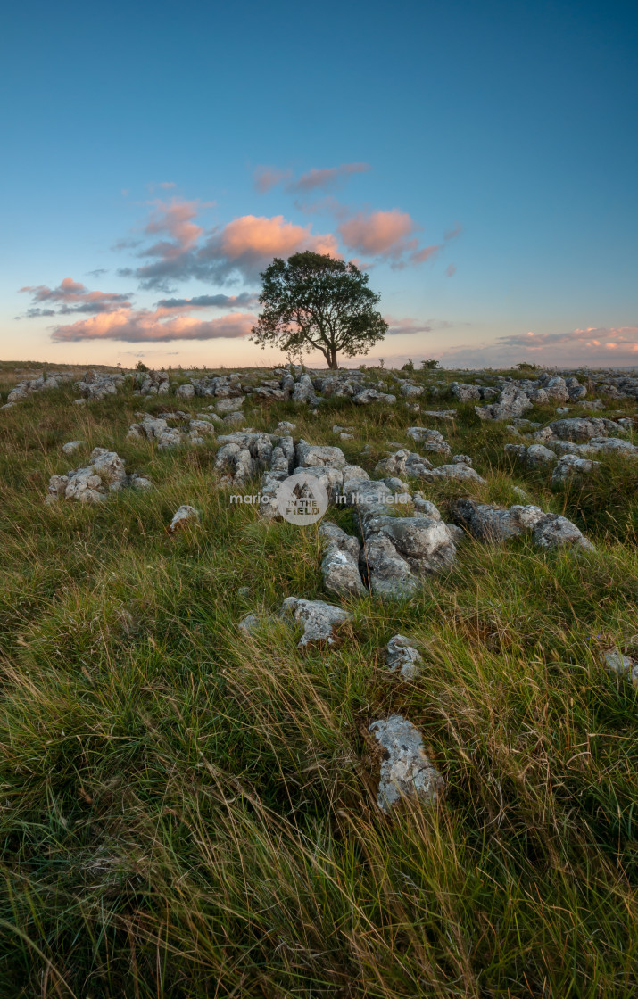 """""""Lonely Tree on the Limestone Pavement"""" stock image"""