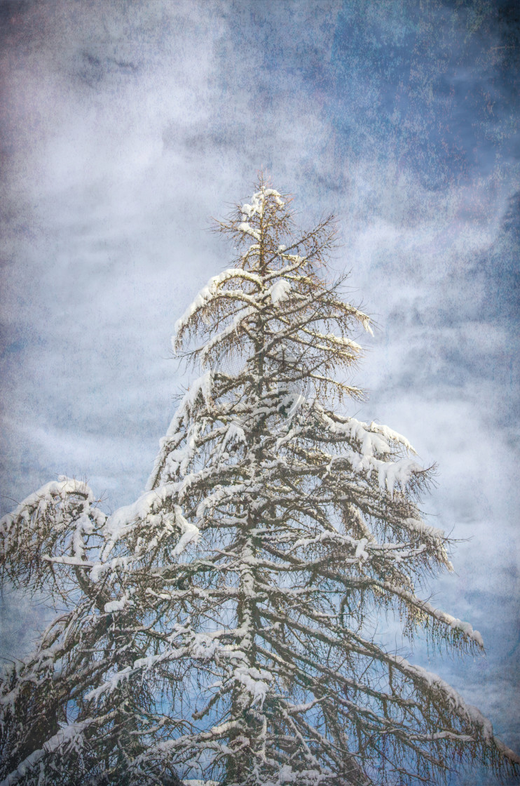 """""""fir covered with snow - wintertime nature"""" stock image"""