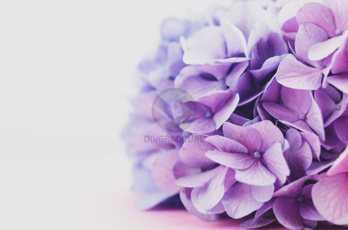 """purple pink hydrangea flower head - floral theme backdrops"" stock image"