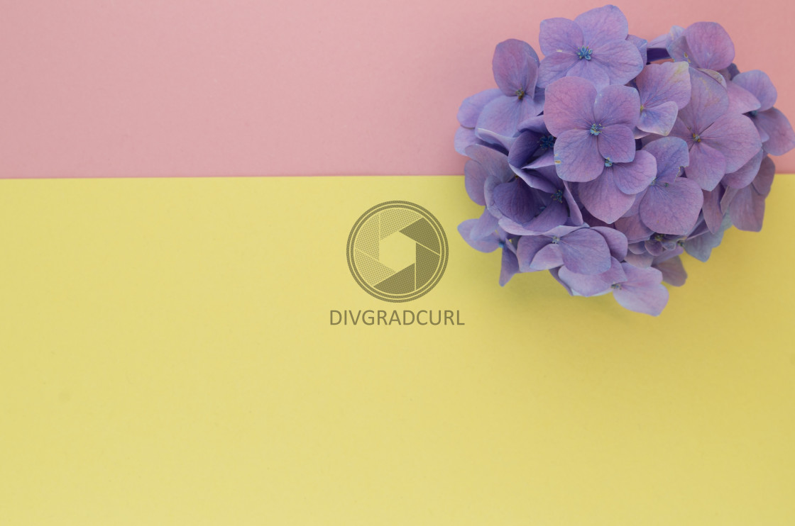 """hydrangea inflorescence floral concept backdrops"" stock image"