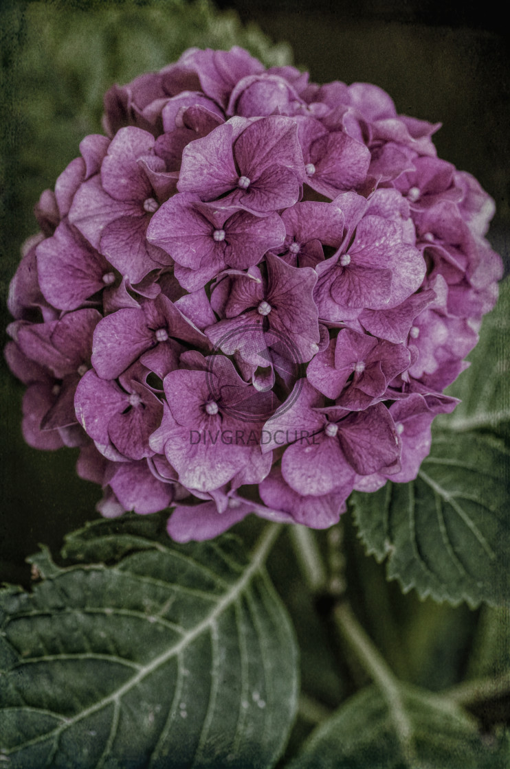 """pink hydrangeas in bloom floral theme backdrops"" stock image"