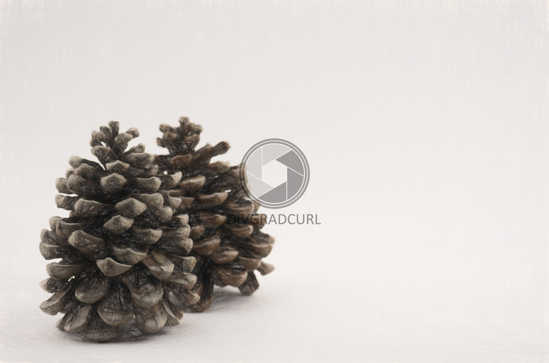 """female coniferous cones - nature still life backdrops"" stock image"
