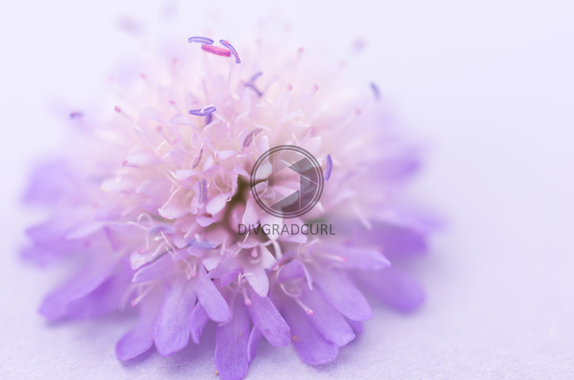 """knautia arvensis - nature inspired modern backdrops"" stock image"