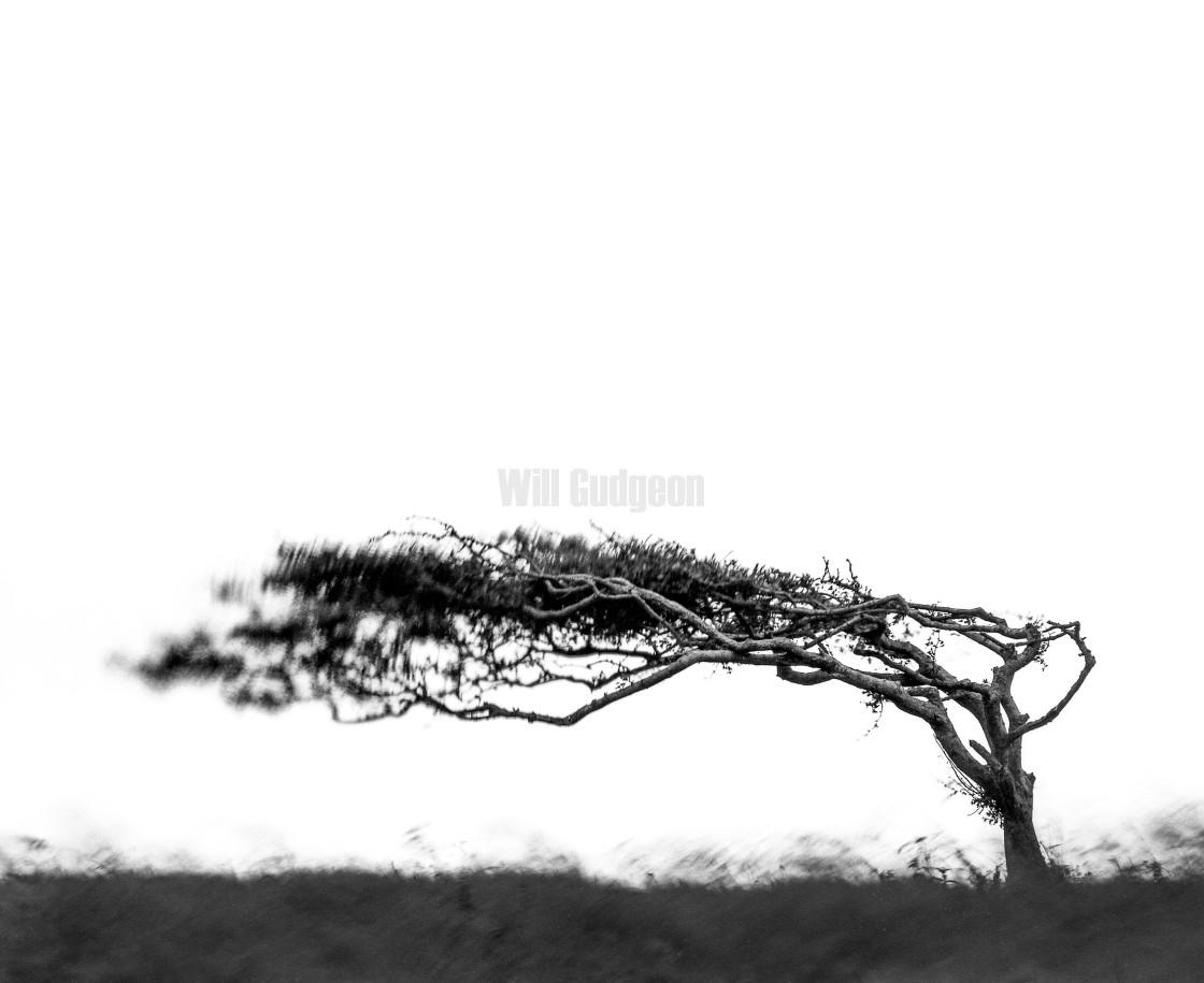 """""""Windswept"""" stock image"""