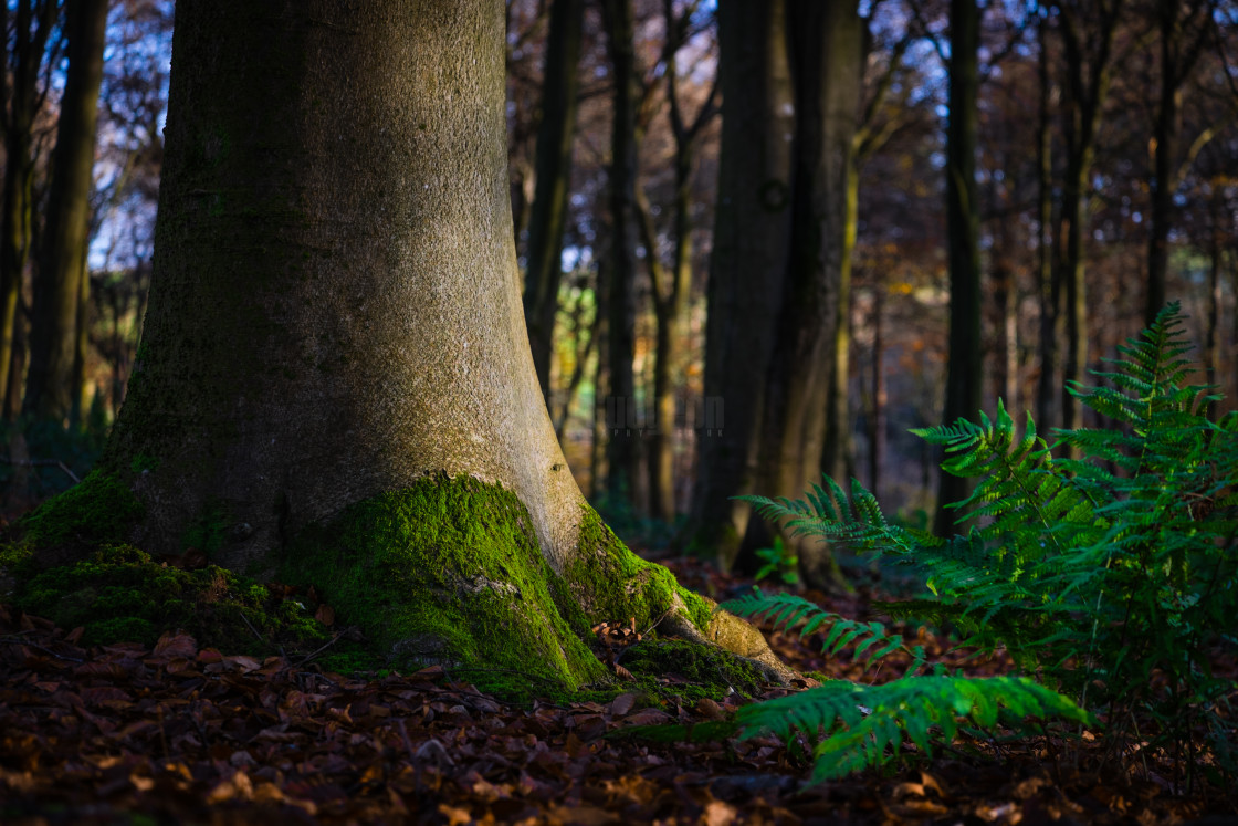 """""""Morning light in the woods"""" stock image"""