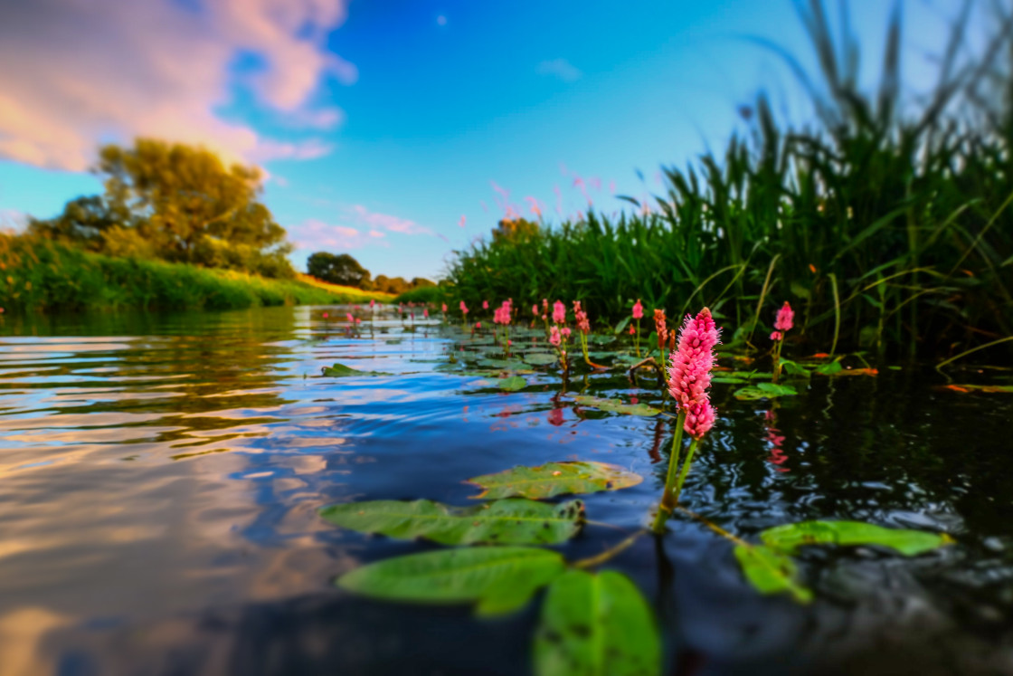 """Water knotweed sunset"" stock image"