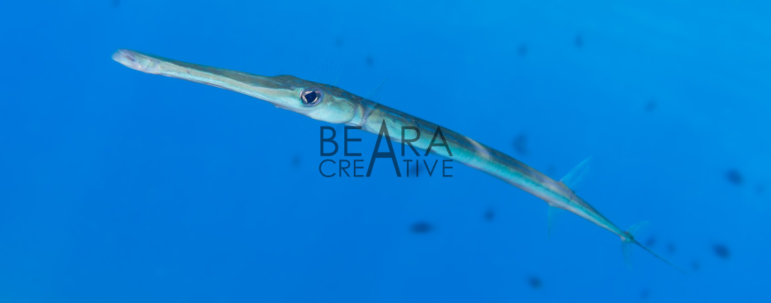 """Smooth cornetfish"" stock image"