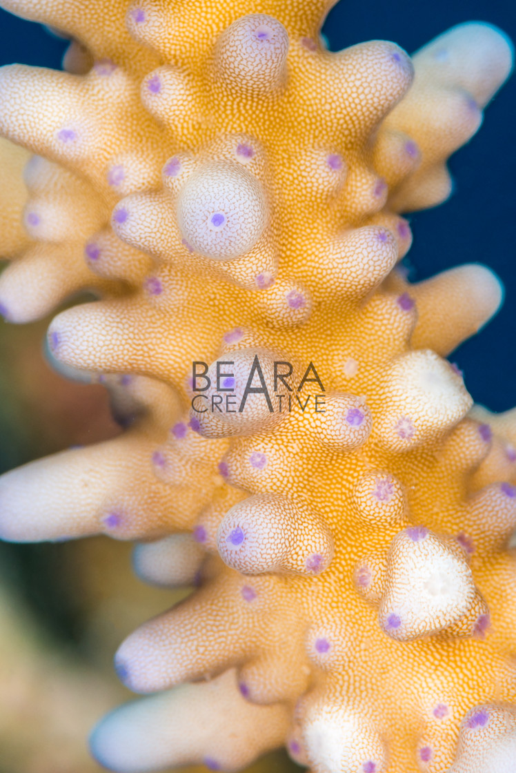 """Acropora coral close-up"" stock image"