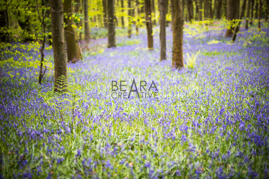 """Bluebell woods springtime"" stock image"