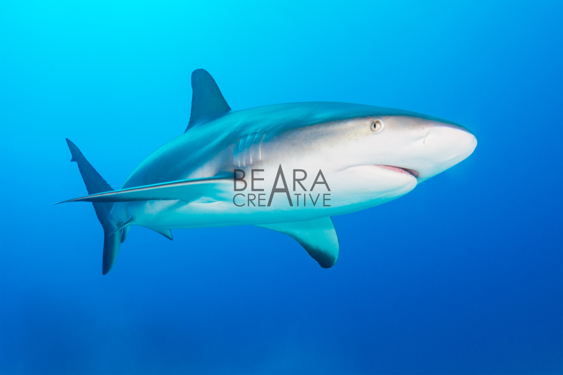 """Caribbean reef shark"" stock image"