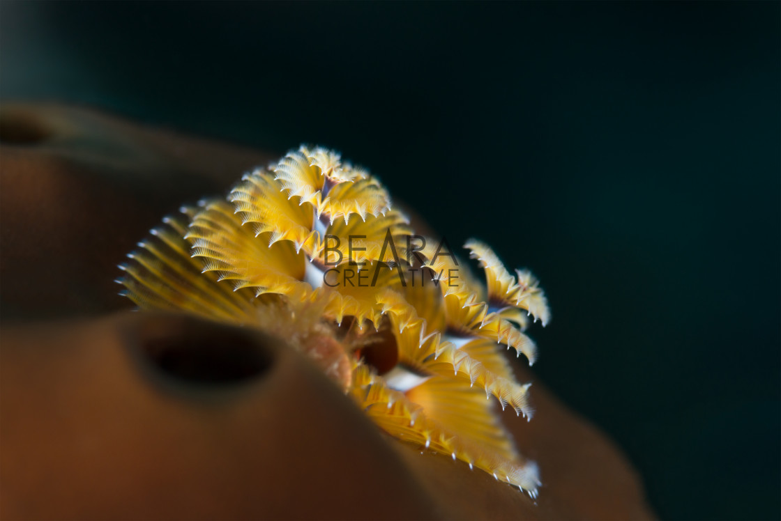 """Christmas tree worm in Bahamas"" stock image"