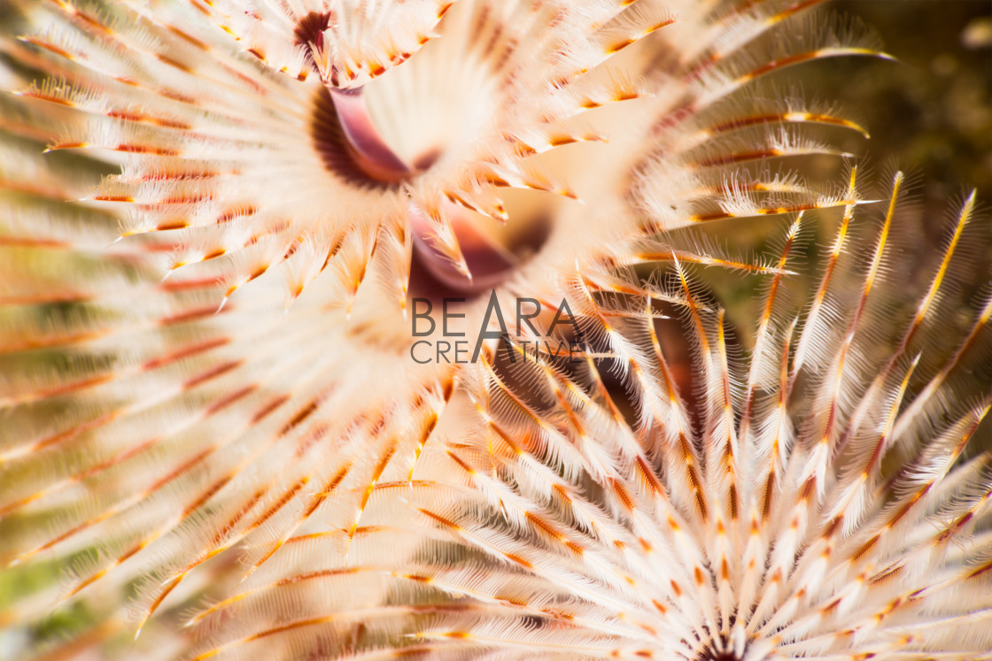 """Christmas tree worm underwater detail"" stock image"