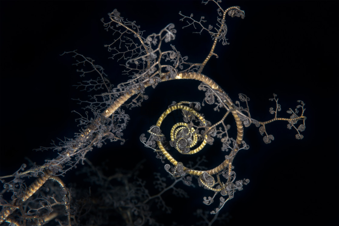 """basket star spiral pattern"" stock image"