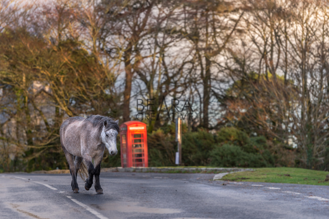 """Dartmoor pony walking on road past phonebox"" stock image"