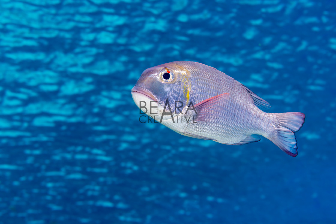 """Fish under surface rippled water"" stock image"