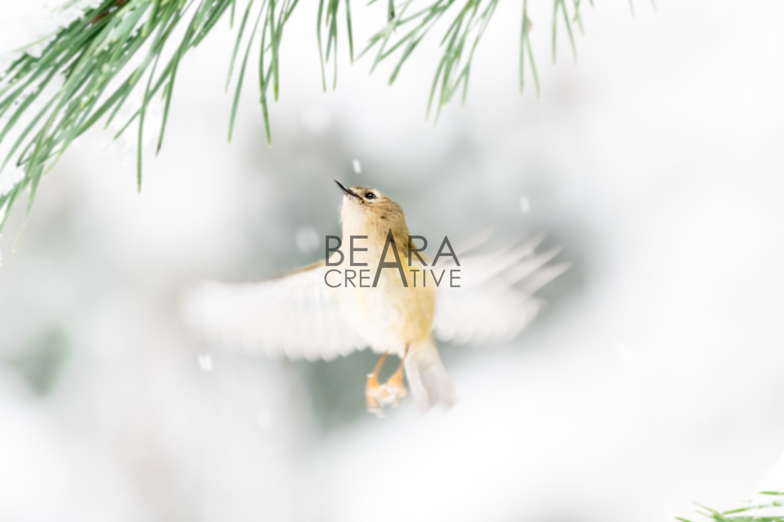 """Goldcrest flight winter scene"" stock image"