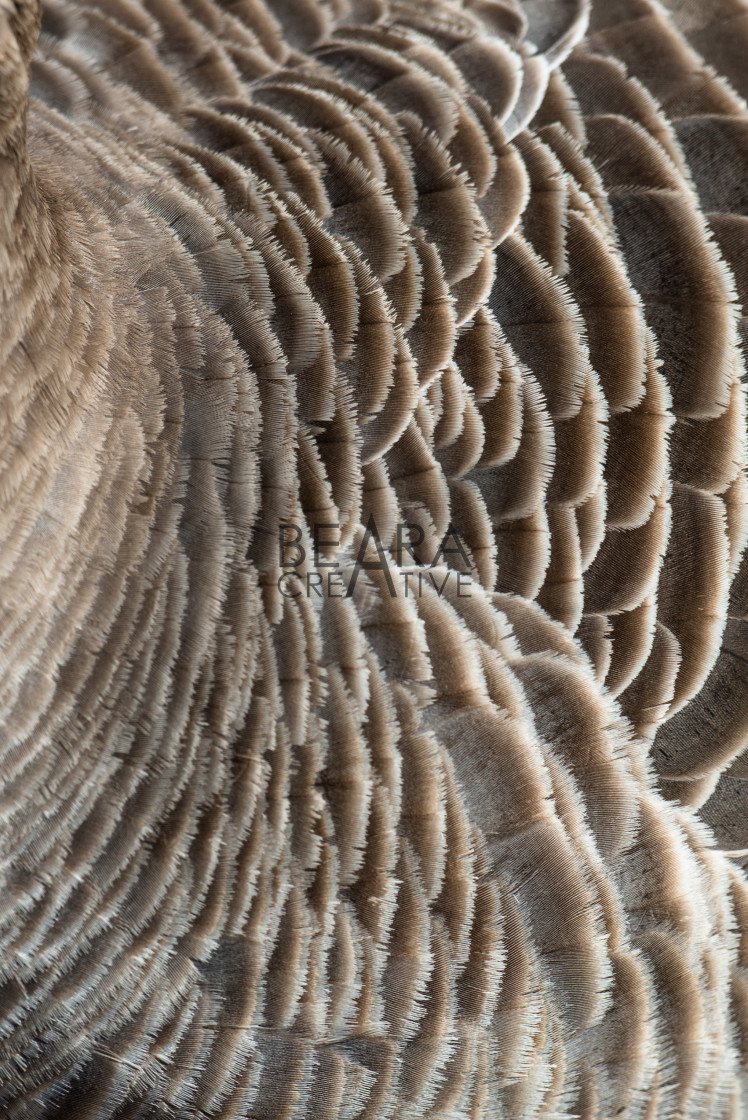 """Greylag goose feathers detailed texture"" stock image"