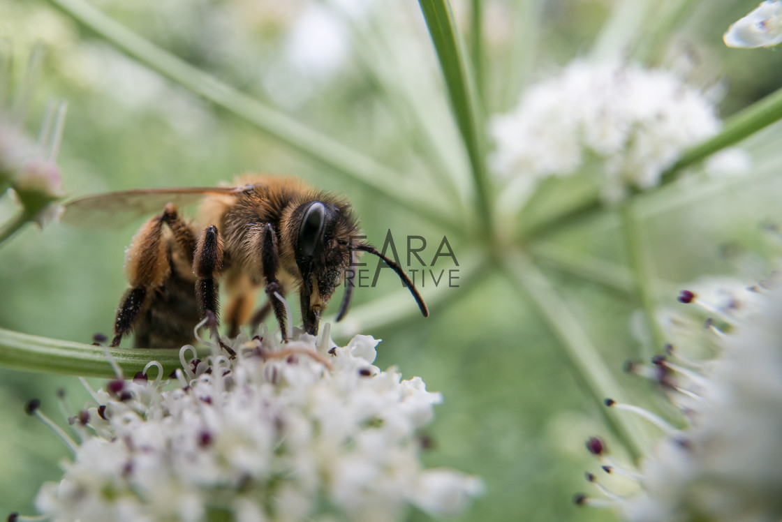 """Honey bee feeding on umbellifer"" stock image"