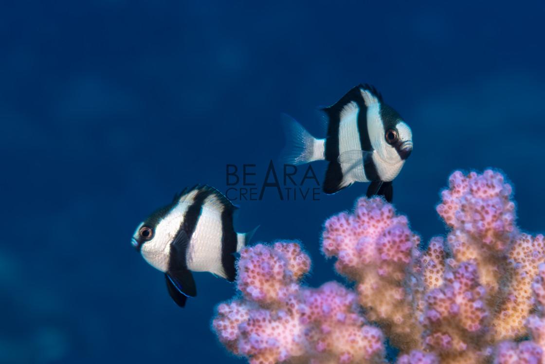 """Two humbug dascyllus over coral"" stock image"