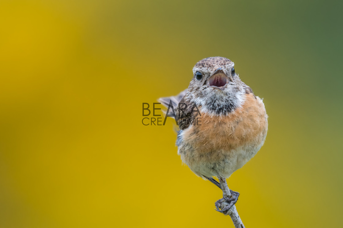 """Isolated bird calling"" stock image"