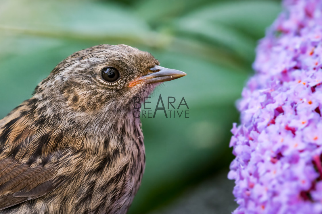 """Juvenile dunnock close-up"" stock image"