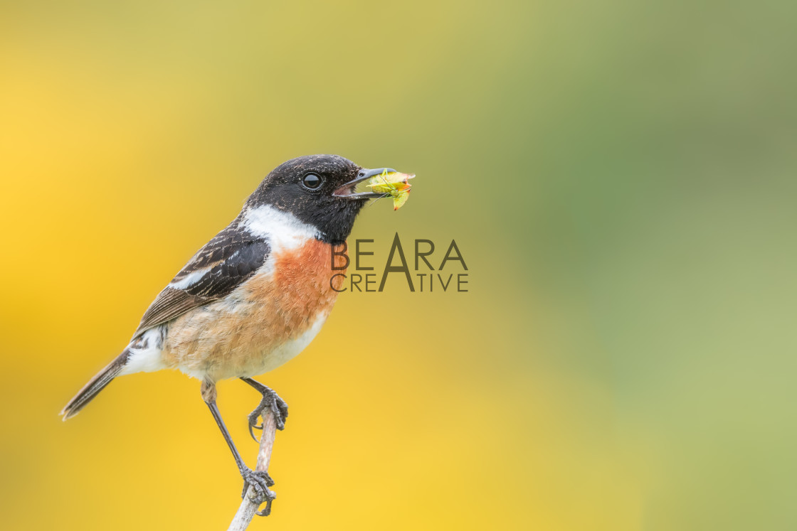 """Male stonechat feeding"" stock image"