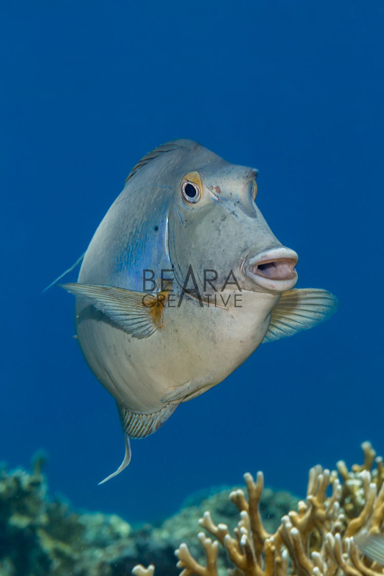 """Bluespine unicornfish hovering above the coral reef at Elphinstone"" stock image"