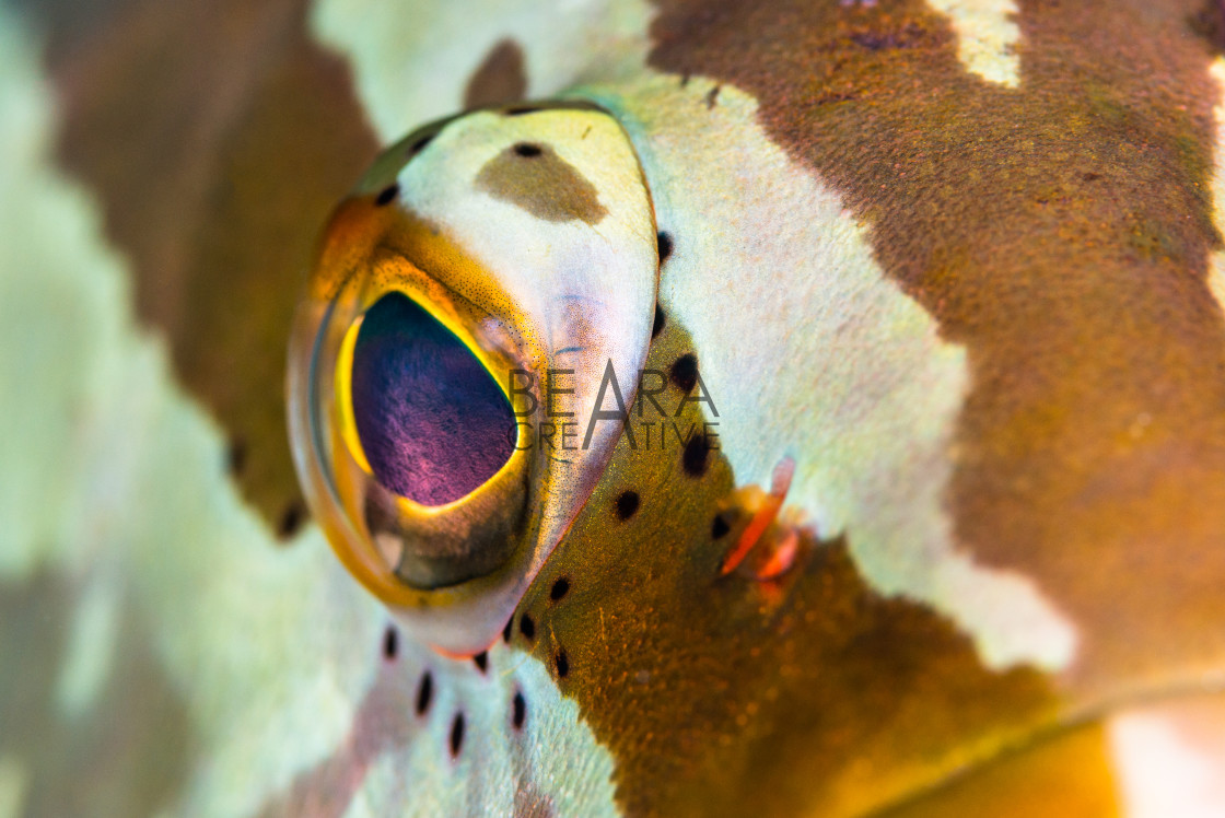 """Macro close-up of Nassau Grouper eyeball"" stock image"